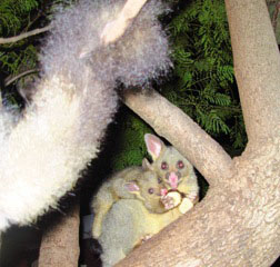 Carolyn Lunt possums in the garden
